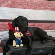 black lab posing with patrioticwith plush puppy